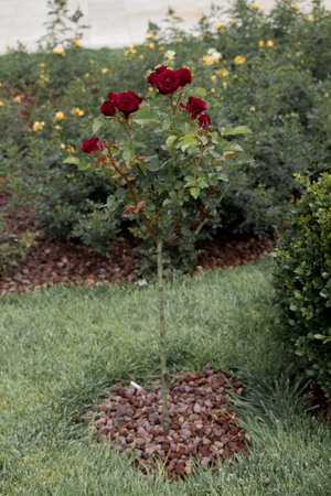 Rose tree with pink roses in a rose garden