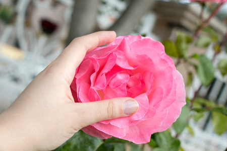 Hand holding a  colorful Rose Flower