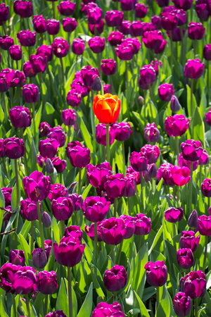 Colorful tulip flowers as a background