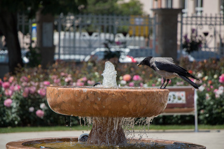 Crow by the side of  gushing water in the rose garden