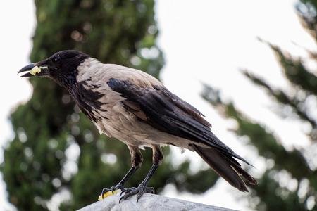 The Hooded Crow Corvus cornix is a  bird species