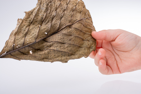 Hand holding a white autumn leaf in hand on a gray background
