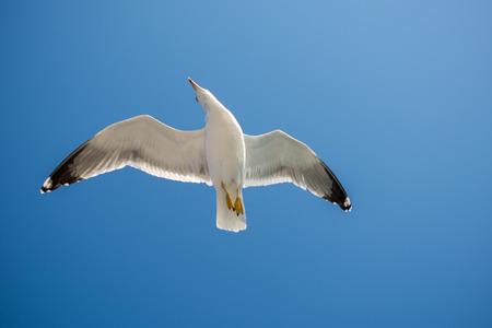 Pojedyncza mewa latająca na niebieskim niebie jako tło