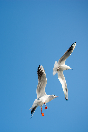 Pair of seagulls flying in the sky background Stock Photo