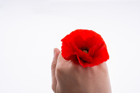 Hand holding a Red Poppy on a white background