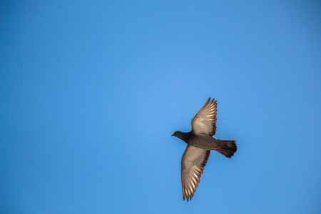 Single pigeon in the air with wings wide open Stock Photo