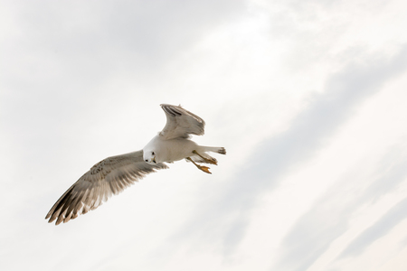 White Seagull on a white background