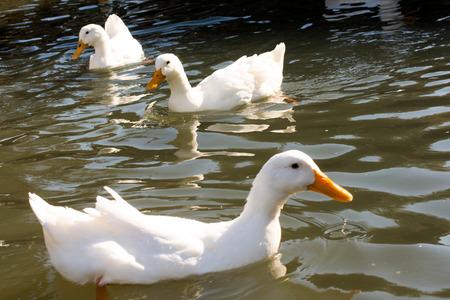 White ducks swim in a pond in spring time