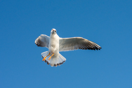 Single seagull flying in a blue sky