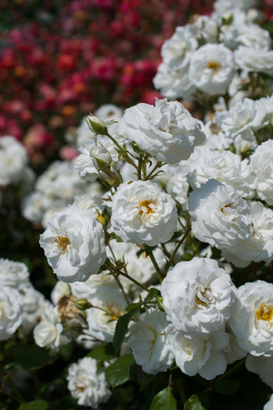 Blooming beautiful bunch of roses in spring garden Stock Photo