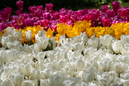 Blooming tulips  flowers in  as  floral plant Stock Photo