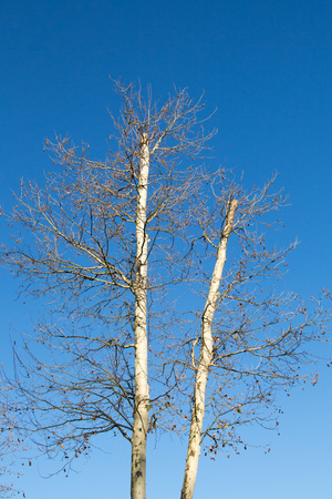 Two leafless trees in blue sky in autumn Stock Photo