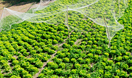 Growing sprouted agricultural crops in spring field