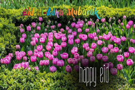 Pink color tulip flowers bloom  in the garden