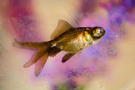 Beautiful colorful fish swims in the aquarium environment Reklamní fotografie