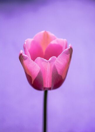 Colorful tulip flower bloom with a colorful background