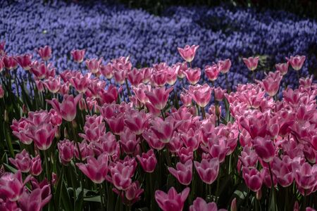Blooming tulips  flowers in  as  floral plant  background Reklamní fotografie