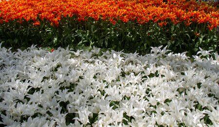 Blooming tulips  flowers in  as  floral plant Stok Fotoğraf