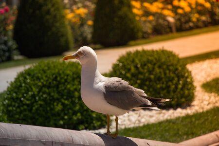 Single seagull as a wild sea bird in the view