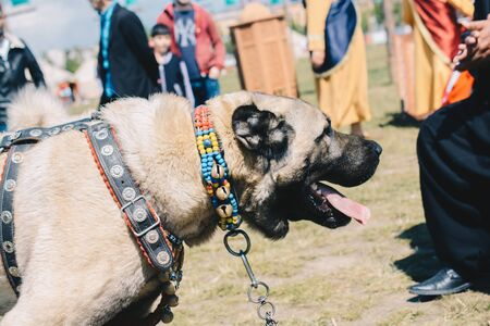 Turkish breed shepherd dog Kangal as livestock guarding dog Reklamní fotografie - 130794630