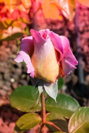 Blooming beautiful colorful rose bud in garden background