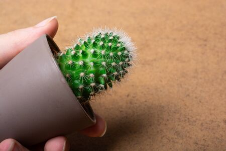 Hand holding Potted cactus  plant in small plastic pot
