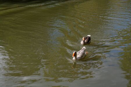 Wild duck swimming in the waters of the pond