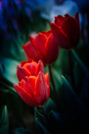 Beautiful tulips flower for postcard beauty concept design Фото со стока