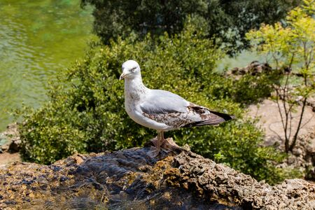 Seagull as sea bird in close up view