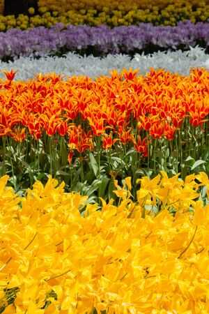 Blooming tulips  flowers in  as  floral plant  background Фото со стока