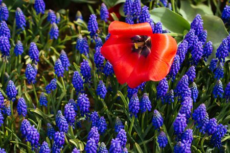Outstanding colorful tulip flower bloom in the spring  garden Фото со стока