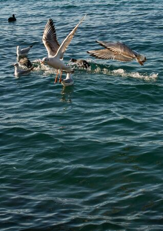 Seagulls are on and over the sea water