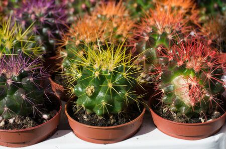 Little colorful cactus plant in a small pot Stock Photo - 138267897