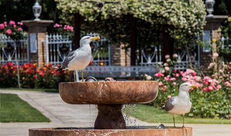 Seagull as a wild sea bird in rose garden by the fountain Banco de Imagens