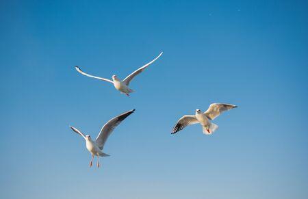 Sea bird Seagulls seen flying in blue sky