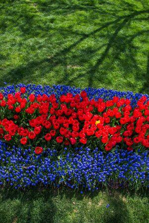 Red color Tulips Bloom in Spring in garden