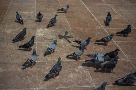 Lovely pigeon birds ,  city doves by live in an urban environment Фото со стока