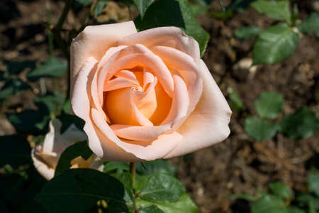 Beautiful rose in nature background Archivio Fotografico