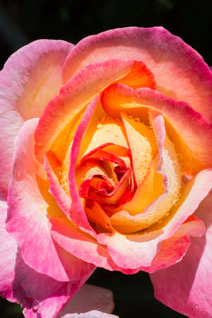 Colorful fresh rose in the close up view