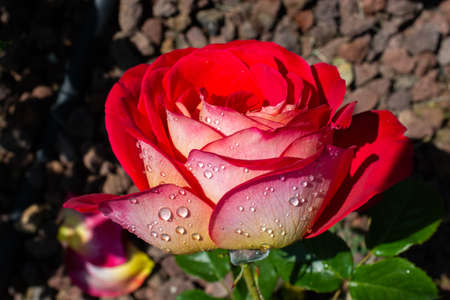 Blooming beautiful colorful rose with water drops on petals