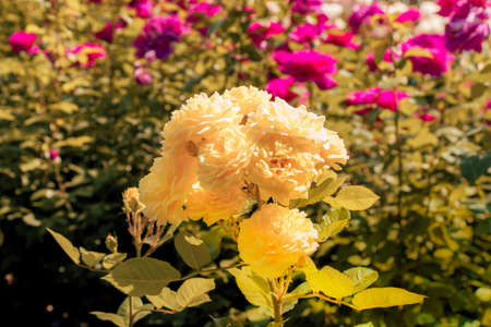 Blooming beautiful bunch of roses in spring garden Archivio Fotografico