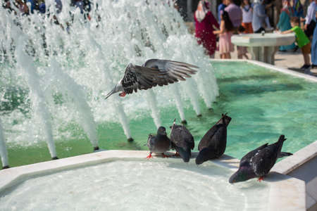 Thirsty pigeons drink water on a hot day at the fountain