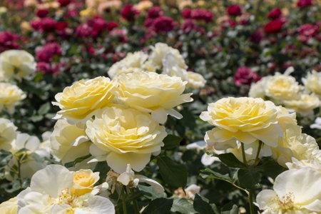 Blooming beautiful bunch of roses in spring garden