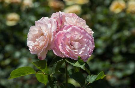 Blooming beautiful bunch of roses in spring garden Stok Fotoğraf