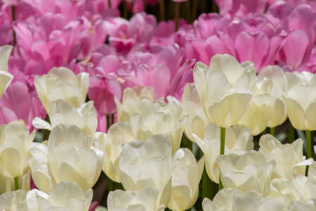 Blooming tulips  flowers in  as  floral plant  background Stok Fotoğraf