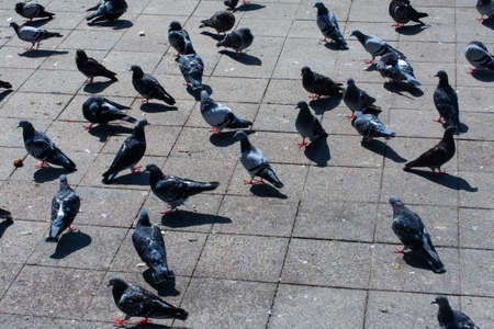 Lovely pigeon birds , city doves by live in an urban environment