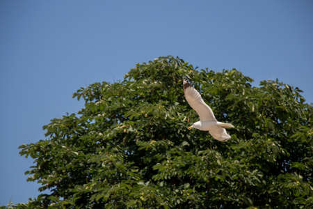 Seagull flying over the trees in the garden