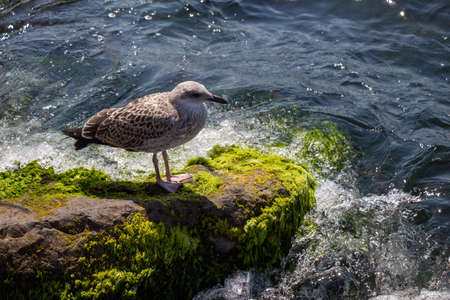 Seagull standing on vibrant green mossy rocks by the sea