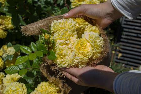 Beautiful fresh roses in hand