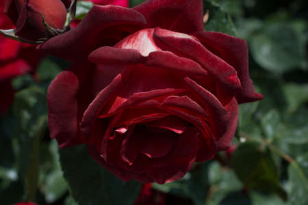 Beautiful fresh roses in close up view